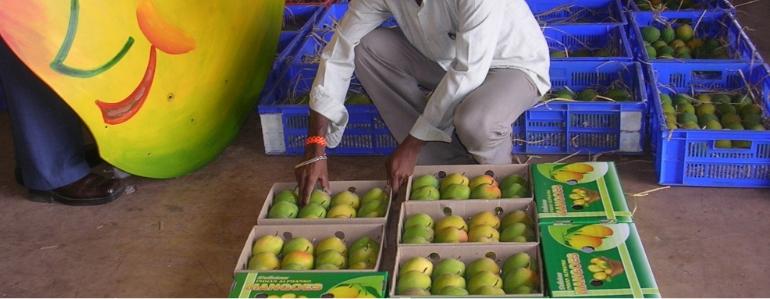 Devgad Alphonso Mango Boxes